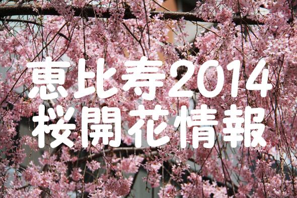 【速報】2014年3月29日現在の恵比寿桜開花情報