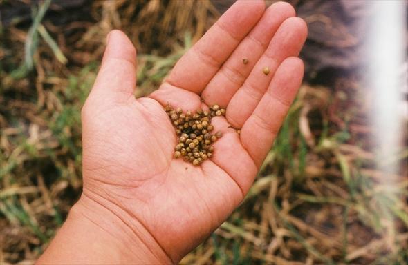 去年収穫したパクチーから採れるコリアンダーシード