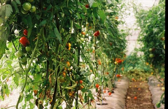 去年栽培したプチトマト数種類。すごい豊作。