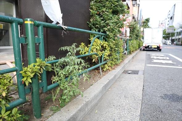 恵比寿横丁の道路沿いにトマトが咲いていた